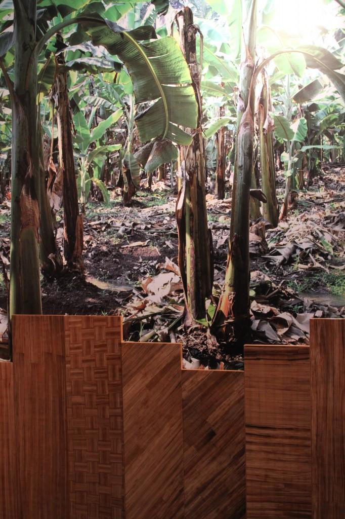Picture of banana plantation and banana veneer.